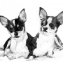 chihuahua_by_jaanasartwork-d323pwr